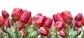 Red beautiful tulips over white background — Stock Photo