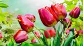 Tulipes de jardin rouge — Photo