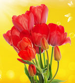 Beautiful  fresh  garden tulips on abstract spring nature backgr — Stock Photo