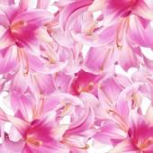 Pink beautiful Lily  background — Stock Photo