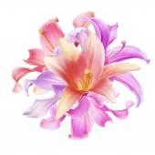 Beautiful  pink Lily — Stock Photo