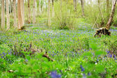 Spring woodland with the first bluebells — Stock Photo