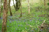 Wild bluebell flowers grown in a green meadow — Stock Photo