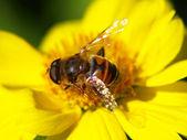 дикая пчела на желтом цветке. — Стоковое фото