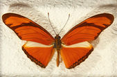 Heliconius julia butterfly. — Stock Photo