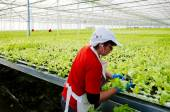 Central Area , CHILE- July 29, 2014.Women working manually industrial plant hydroponic lettuce. — Stock Photo