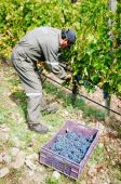 Manual grape harvest — Stock Photo