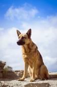 German shepherd guarding the ruins — Stock Photo