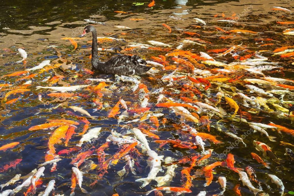 Black swan in den teich mit japanischen koi fisch for Laghetto giapponese
