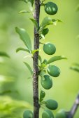 Grüne pflaume — Stockfoto