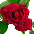 Red flower with green leaves — Stock Photo #73162011