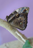 Butterfly Morpho Peleus on a branch — Stock Photo
