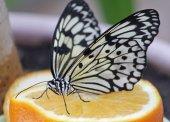 Butterfly Idea leuconoe on orange — Stock Photo