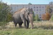 Elephant in the meadow near the house — Foto de Stock