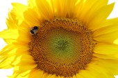 Sunflower and a bumblebee on a white background — Stock Photo