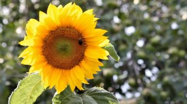 Sunflower flower sways in the wind on a sunny summer day. Bumblebee creeps on flower. — Stock Video