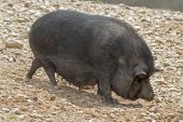Black Pot-bellied pigs herbivorous — Stock Photo