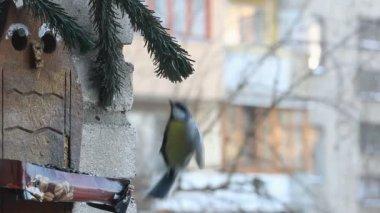 Tits eating seeds from the feeder in winter in the city — Stock Video