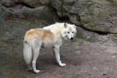 白いオオカミ — ストック写真