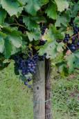 Grape in italian vineyard — Stock Photo