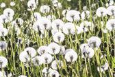 White dandelion flowers on a field — Stock Photo