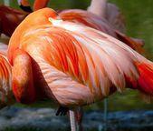 American Flamingo - Phoenicopterus ruber - beautiful red colored bird — Stock Photo