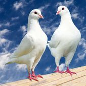 Two white pigeon - imperial-pigeon - ducula — Stock Photo