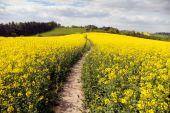 Field of rapeseed (brassica napus) — Stock Photo