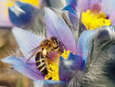 Honeybee on pasqueflower — Stock Photo