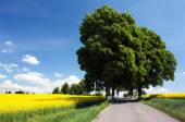 Field of rapeseed with road and alley of lime tree  — Stock Photo