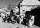 Caravan of goats go with goods from Simikot Area, Nepal — Stock Photo