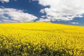 Field of rapeseed with beautiful cloud — Stock Photo