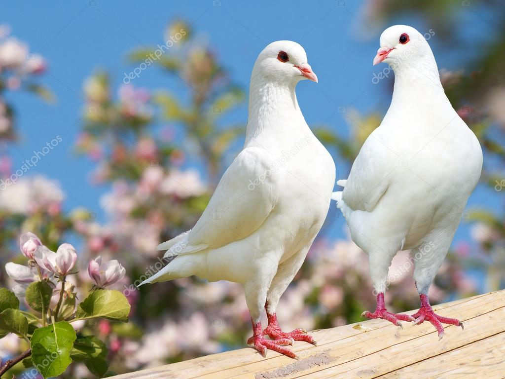 Two White Pigeon On Flowering Background Stock Photo 169 Prudek 53521475