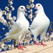 Two white pigeon on flowering background — Stock Photo #54405149