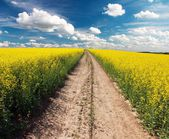 Country road across rape field — Stock Photo