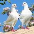 Two white pigeon on flowering background — Stock Photo #55519593