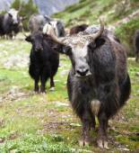 Gruppo di yak — Foto Stock