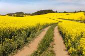 Field of rapeseed (brassica napus) — Stock Photo