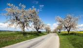 Road and alley of flowering cherry-trees — Stock Photo