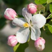Flower of apple tree  — Stock Photo