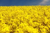 Field of rapeseed - plant for green energy — Stock Photo
