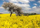 Field of rapeseed with apple tree — Stock Photo