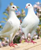 Two white pigeon on flowering background — Stock Photo