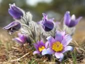 Flower of pasqueflower — Stock Photo