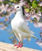 One white pigeon on flowering background — Stock Photo