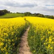 Field of rapeseed (brassica napus) with rural road — Stock Photo #70780837