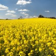View of flowering field of rapeseed — Stock Photo #70784737