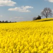 View of flowering field of rapeseed — Stock Photo #71394907