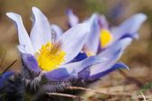 Blue and yellow early springy flower of pasqueflower — Stock Photo