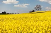 View of flowering field of rapeseed — Stock Photo
